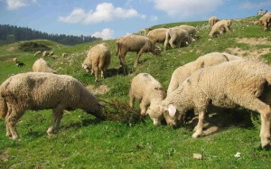 Sheeps grazing the Gulmarg meadows