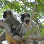 Monkeys at Pavagadh