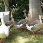 Ducks at Jambhugoda 3