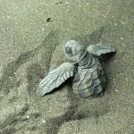 Young Turtle